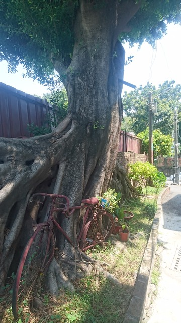 Image for Bike and Banyan Tree